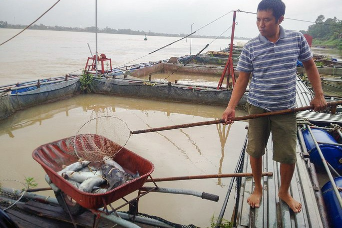 Nuôi cá lồng tại Thanh Thủy thiệt hại nặng nề do thủy điện xả đáy