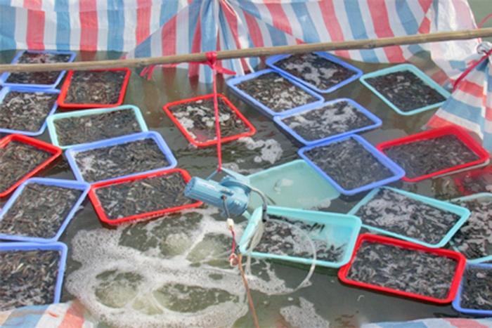 Nuôi cá Bống bớp trong ao đất vỗ bờ xi măng ở Hà Tĩnh
