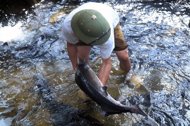 Ngành nuôi cá nước lạnh ở Lào Cai ước đạt 75 tỷ đồng
