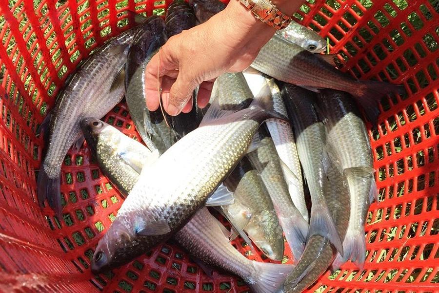 Nuôi tôm ghép cá đối mục, lợi cả đôi đường