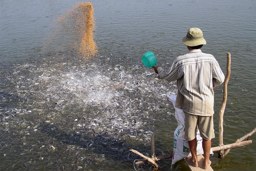 Giá cá tra giống tăng vọt