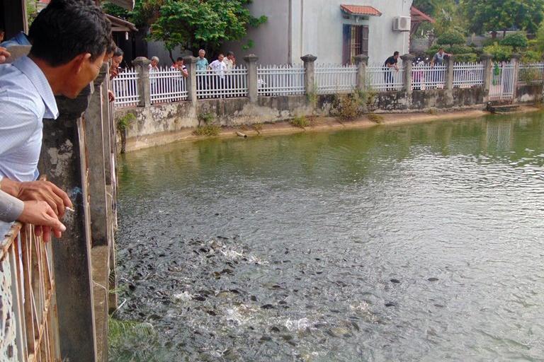 Nuôi cá khỏe mạnh nhờ xử lý tại chỗ môi trường ao nuôi