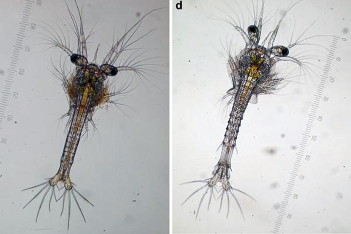 Ảnh hưởng tảo độc đến ấu trùng tôm