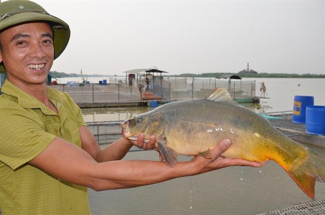 Lạ với nghề nuôi cá chép không vảy, thịt thơm ngon