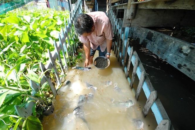 Chuyện lạ: Người bỏ tiền dẫn dụ cá tra tự nhiên về để ngắm