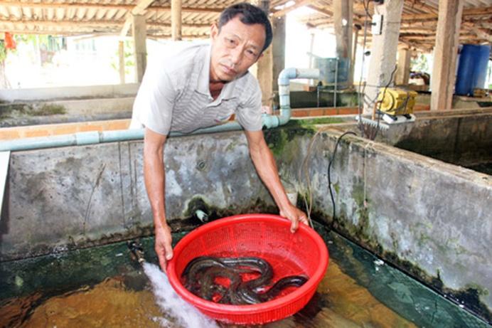 Nông dân Bình Định nuôi cá chình lãi 400 triệu/năm
