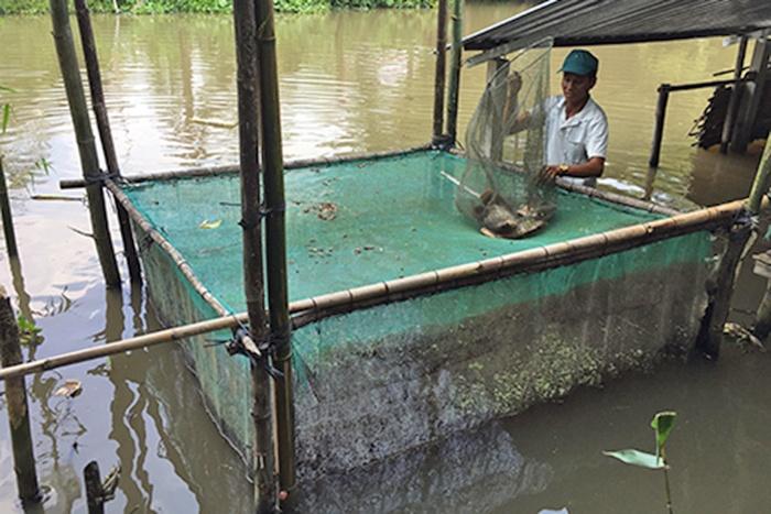 Thu nhập cao từ mô hình nuôi cá tai tượng trong vèo