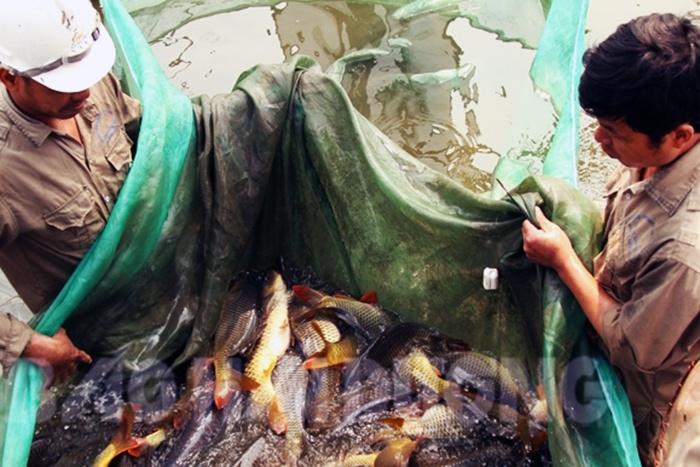 Sản xuất cá giống Hải Dương gặp khó