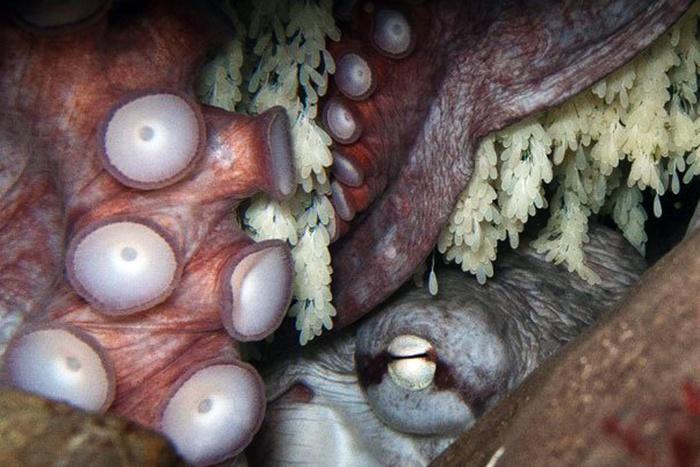 Khám phá bí mật đen tối trong sinh sản của loài bạch tuộc