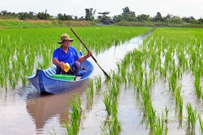 Thông báo trữ ngọt cho lúa trên đất nuôi tôm