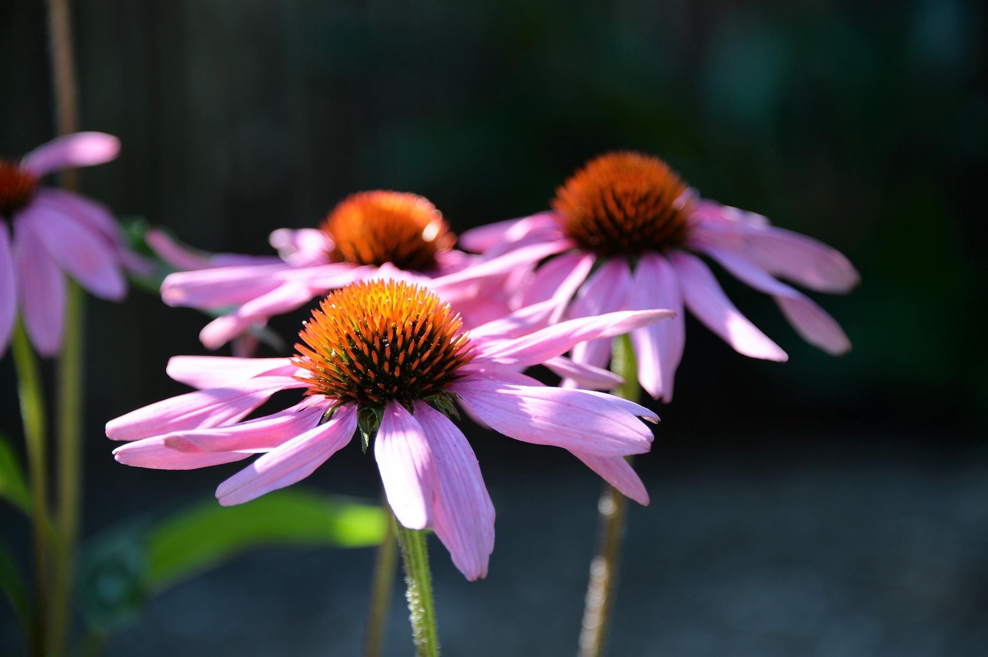 Chiết xuất từ hoa Cúc tím kích thích tăng trưởng cá đối mục