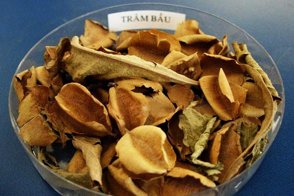 Khả năng kháng vi khuẩn gây bệnh tôm cá từ lá cây trâm bầu