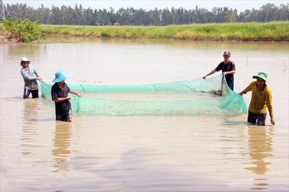 Cận cảnh nuôi cá ruộng mùa lũ không cho ăn vẫn lớn như thổi