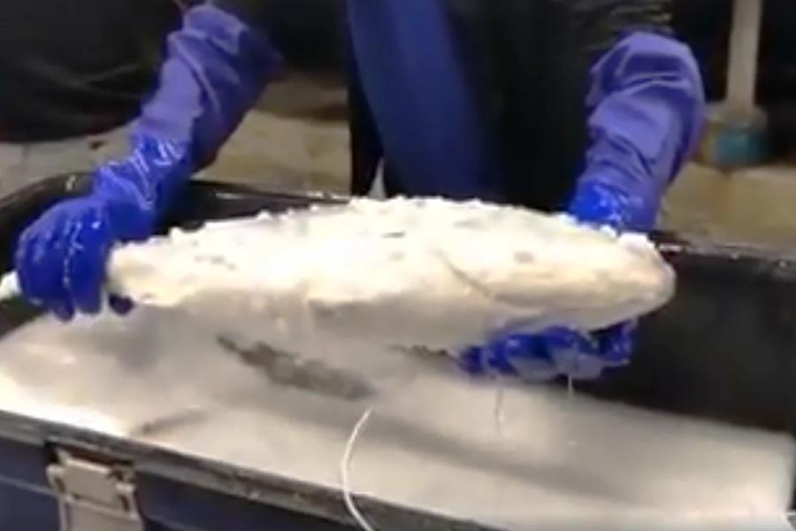 Cá ướp lạnh đông cứng hồi sinh sau hai giây thả vào chậu nước