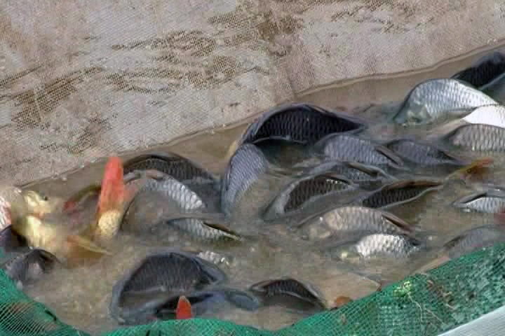 Lệ Thủy thu lãi 30 triệu đồng/ha từ mô hình cá vụ 3