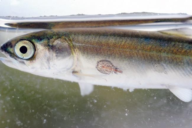 Hứa hẹn kiểm soát ký sinh trùng nhờ các loài cá làm sạch | Tin thủy sản