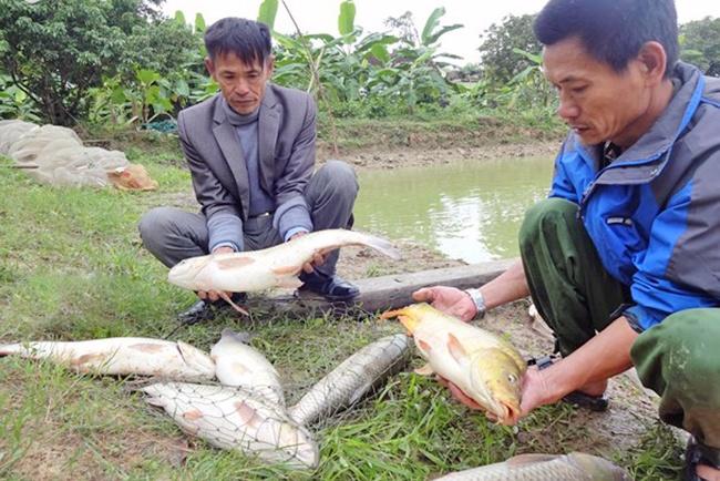 Nông dân Nghệ An nuôi thành công cá chép giòn