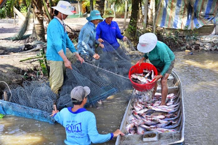 Nông dân Kiên Giang thu nhập cao từ nuôi cá trên ruộng lúa