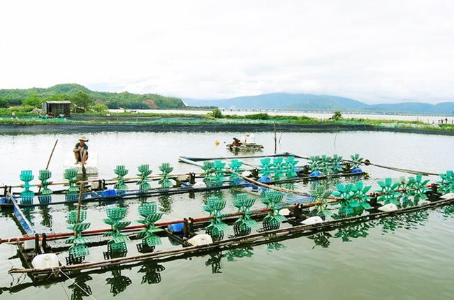 Bình Định: Người nuôi thủy sản chủ động thu hoạch để tránh lũ