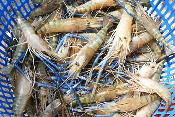 Tôm càng xanh – Lúa lợi nhuận cao gấp 2-3 lần trồng lúa