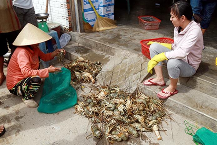 Tôm hùm nuôi trên vịnh Cam Ranh chết hàng loạt