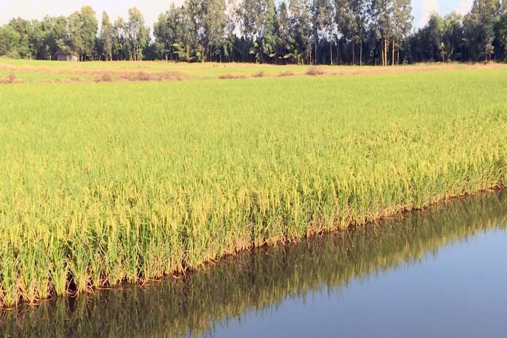Nông dân Thới Bình trúng vụ lúa trên đất nuôi tôm