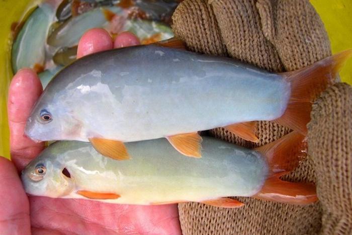 Mật độ phù hợp cho nuôi vỗ thành thục của cá heo