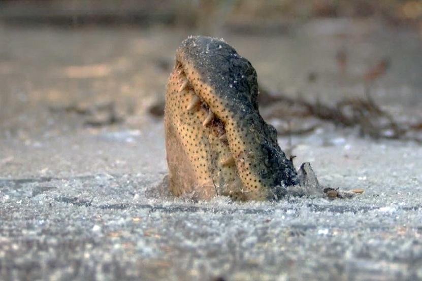 """Kì lạ hiện tượng cá sấu """"ngủ đông"""" ở Mỹ"""