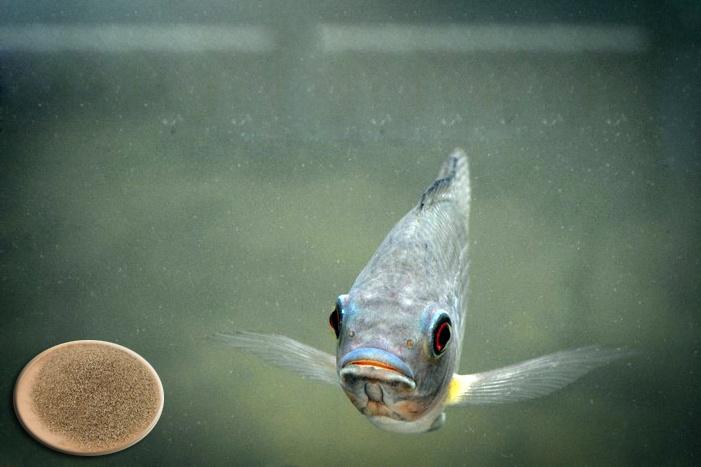 Choline từ thực vật thúc đẩy tăng trưởng trên cá rô phi
