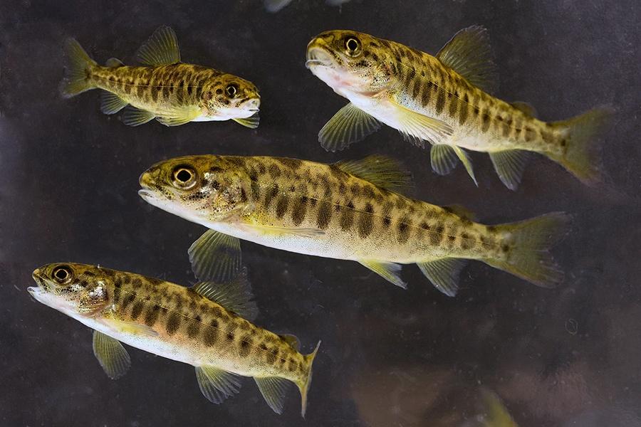 Phương pháp mới đếm số lượng cá hồi bằng chất nhờn