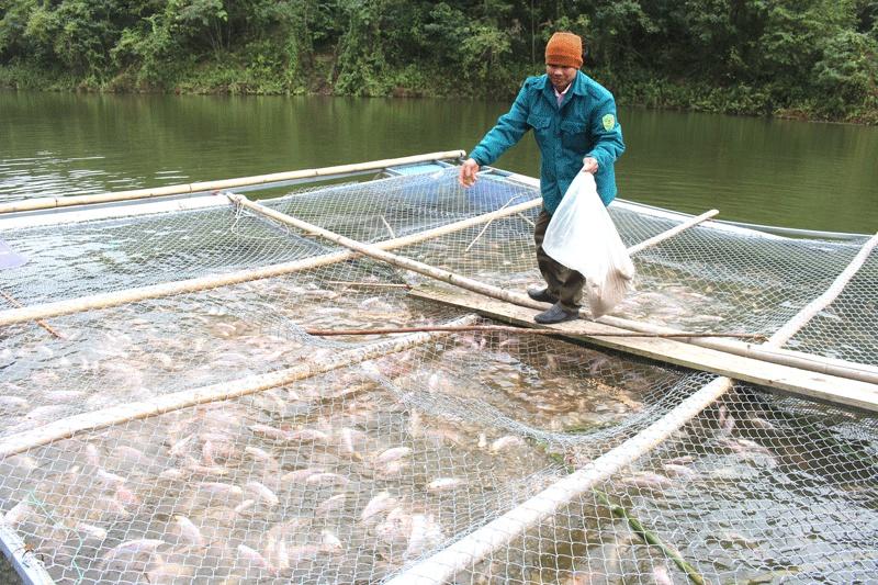 Nuôi cá Diêu hồng trong lồng bè ở Quảng Chu