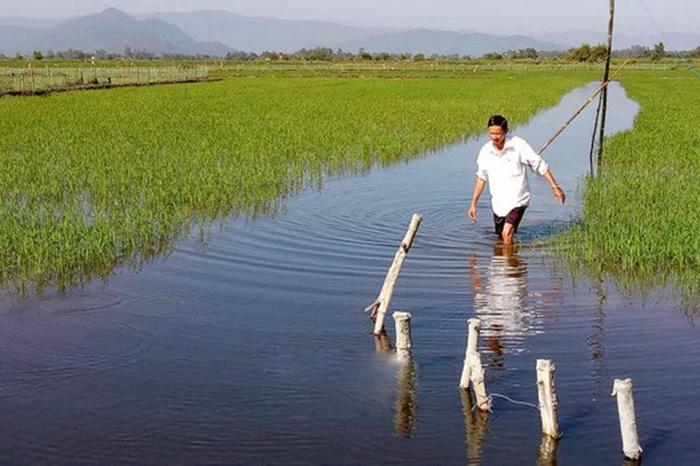 Nuôi cá lóc trong ruộng lúa ở Bình Định