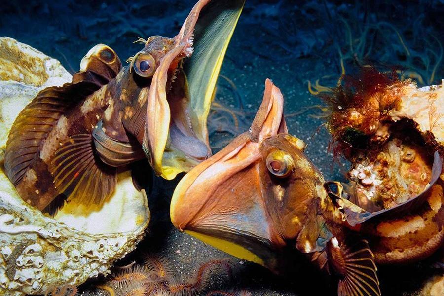 """loài cá nhỏ bé """"ác mộng"""" dưới đại dương"""