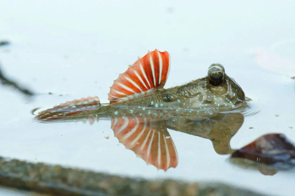 Cá thòi lòi làm cảnh