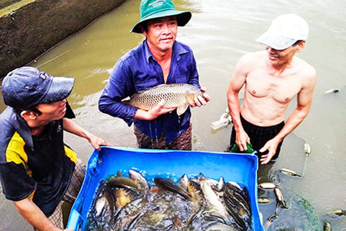 Khanh Hòa: Nhân rộng mô hình nuôi cá chép giòn