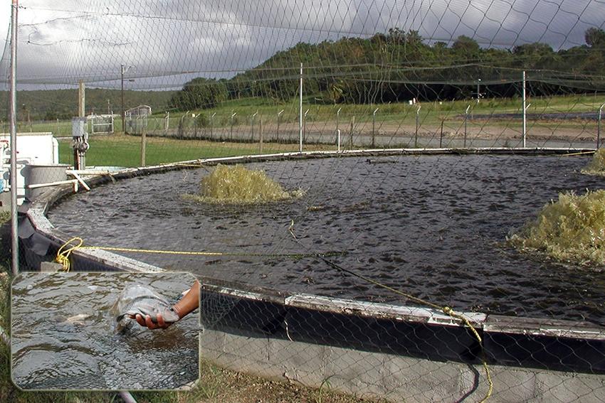 Độ pH lý tưởng để nuôi cá rô phi trong hệ thống biofloc
