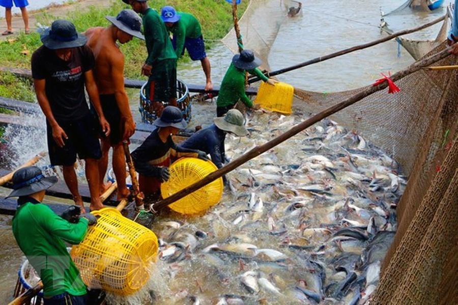 Diện tích cá tra thương phẩm đạt 5400 ha