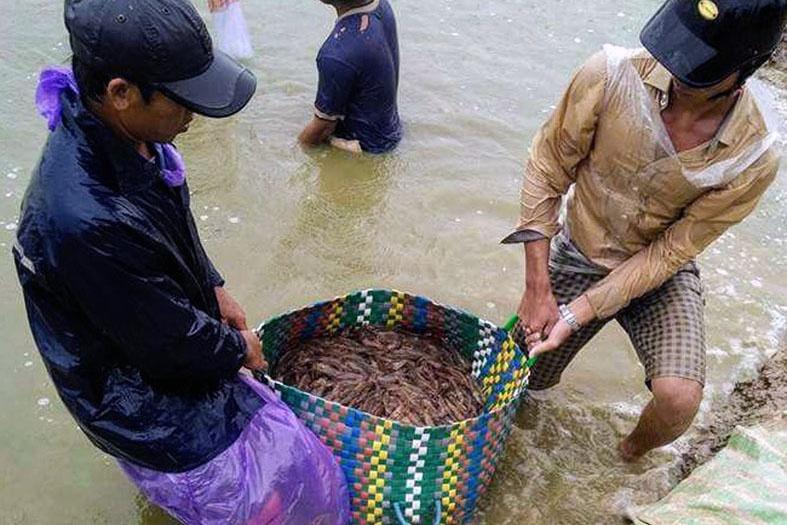 Nông dân nuôi tôm Bạc Liêu trúng mùa, trúng giá