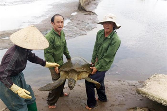 Ngư dân Nam Định bắt được con vích biển hiếm gặp, nặng tới 64kg