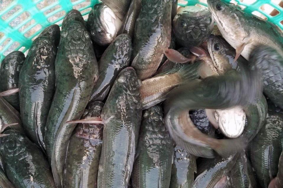 Hiện tượng lạ trên cá lóc nuôi