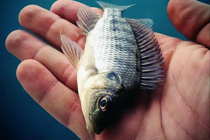 Phụ gia bổ sung cho cá rô phi:: Prebiotics và axít hữu cơ