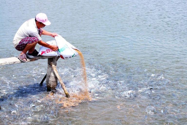 Nuôi cá Tra giống cho hiệu quả cao ở Cần Đước