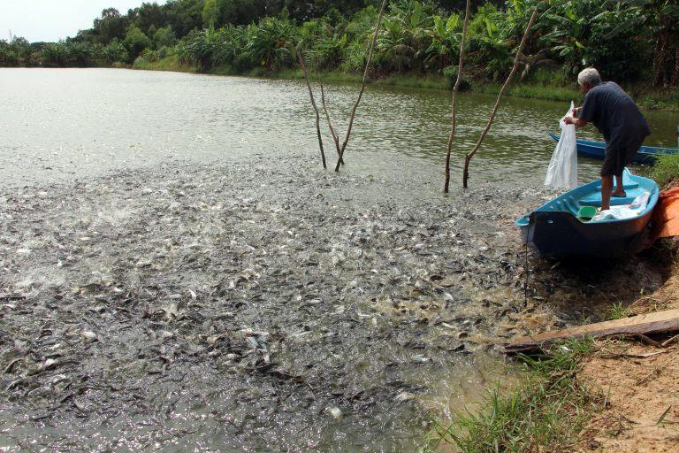 Người dân Long An thua lỗ nặng vì cá tra giống