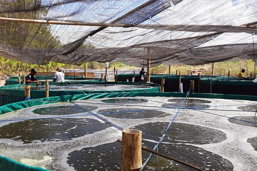 Bioflocs và chất nền nhân tạo giúp giảm tác động mật độ cao đến tôm