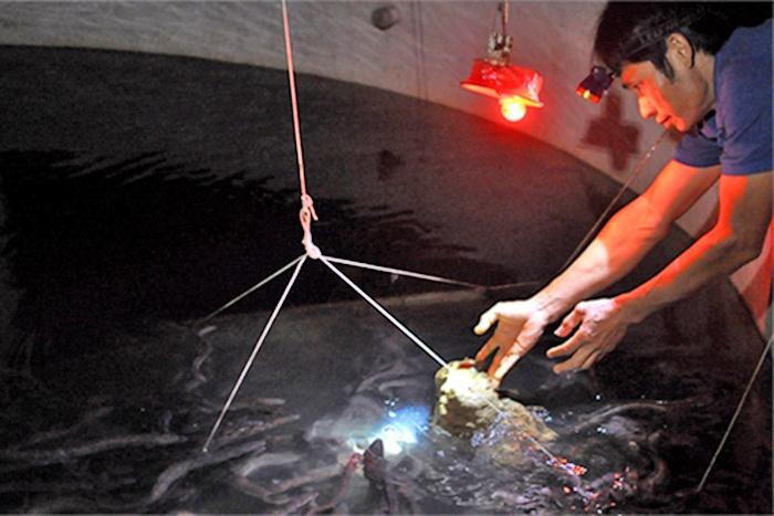 Thức ăn công nghiệp nuôi cá chình: Góp phần giảm chi phí