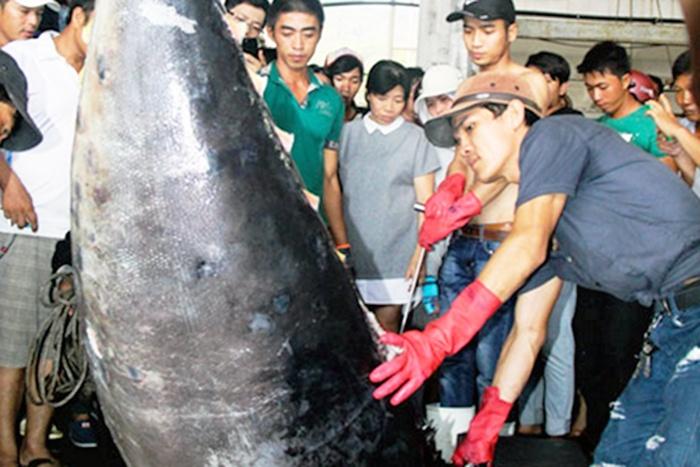 Khánh Hòa: Sản lượng cá ngừ đại dương giảm