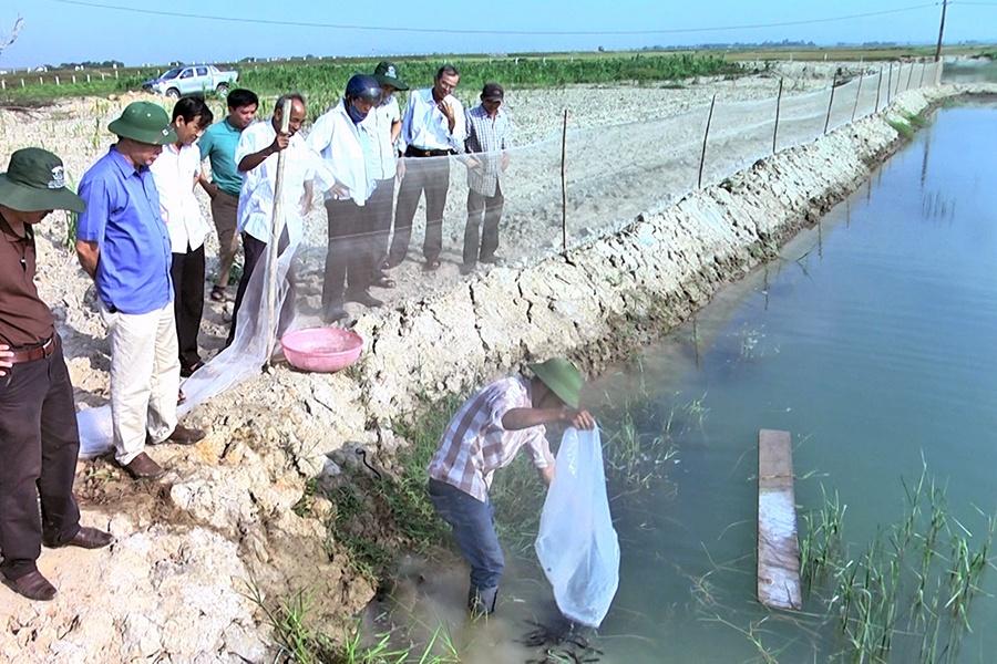 Mô hình nuôi cá leo thương phẩm đầu tiên ở Quảng Trị