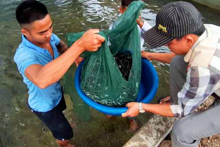 Quỳnh Lưu: Thả nuôi 15 vạn con cá lóc đầu nhím