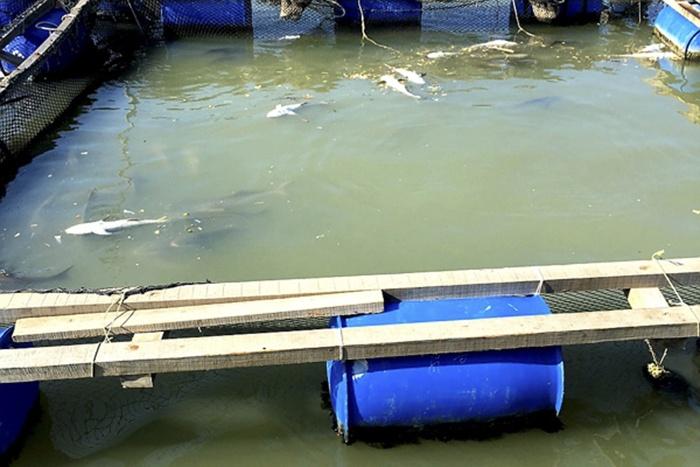 40 tấn cá bớp nuôi bè ở Vũng Tàu chết trắng