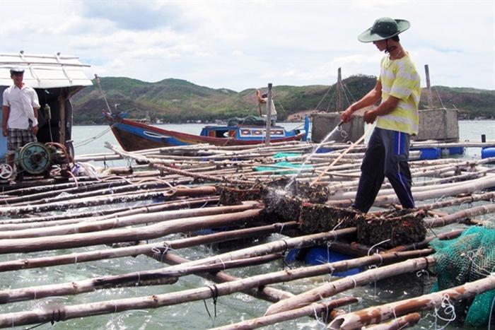 Cảnh báo ô nhiễm, tảo độc gây chết tôm hùm ở vịnh Xuân Đài